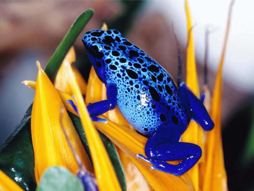 blue-toad