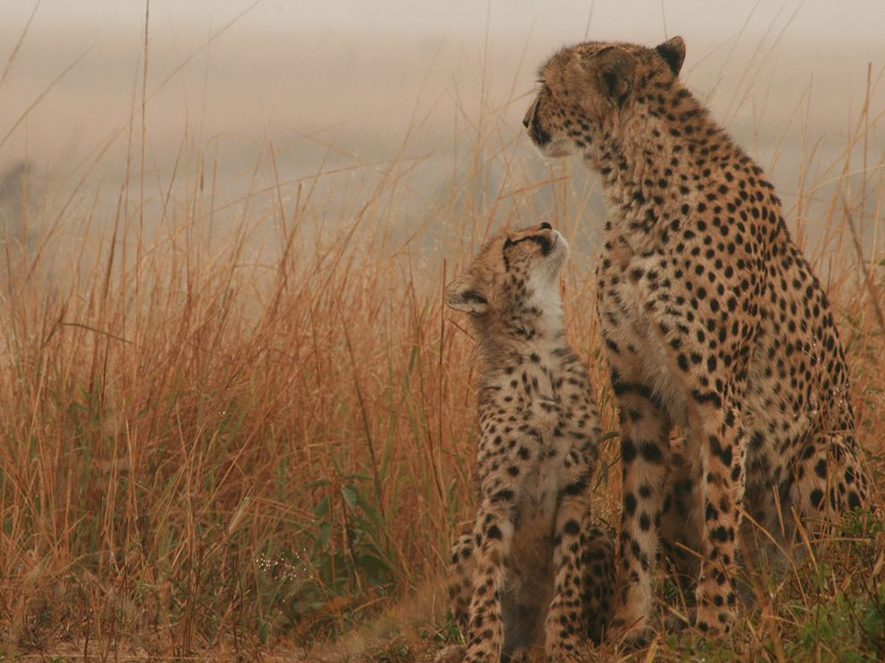 cheetah_cub_with_mom_cheetah