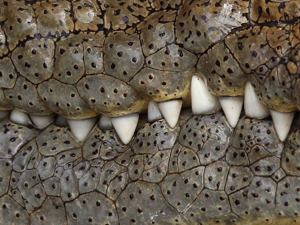 croc_teeth