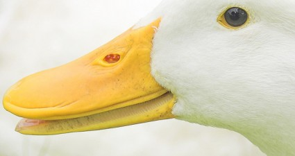 duck_smile