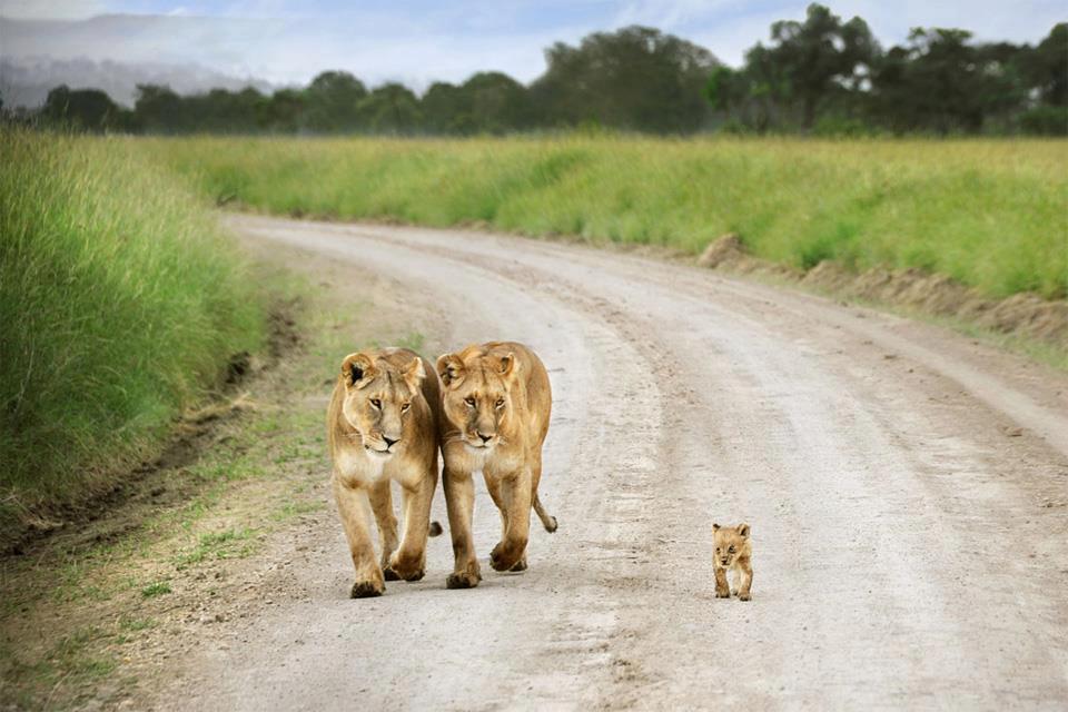 lions_on_a_jog