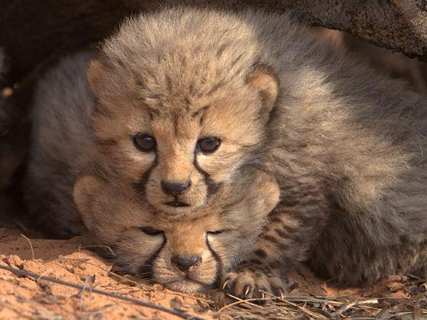 three_weeks_old_cubs