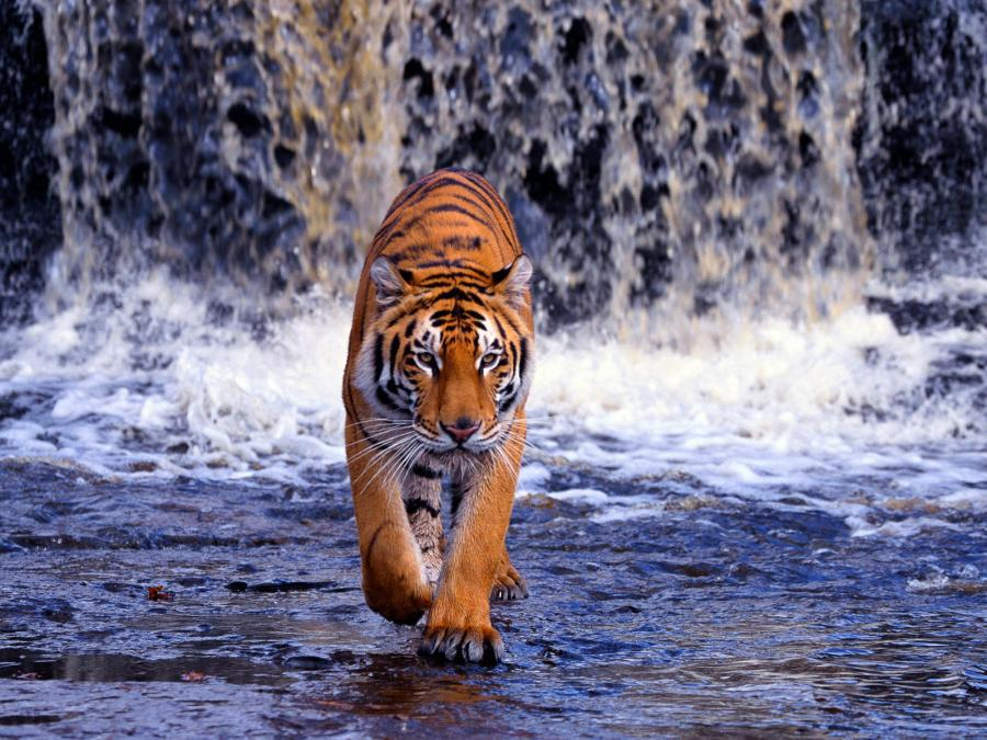 tiger_by_waterfall