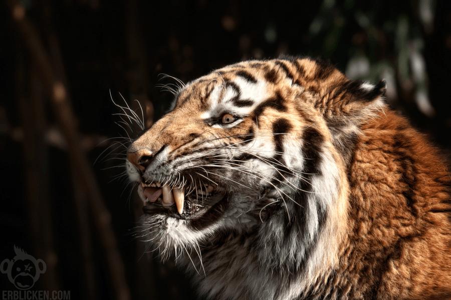 angry_siberian_tiger