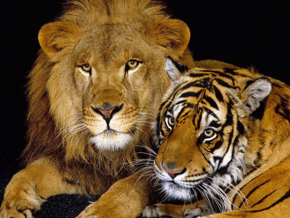 lion_tiger_family_portrait