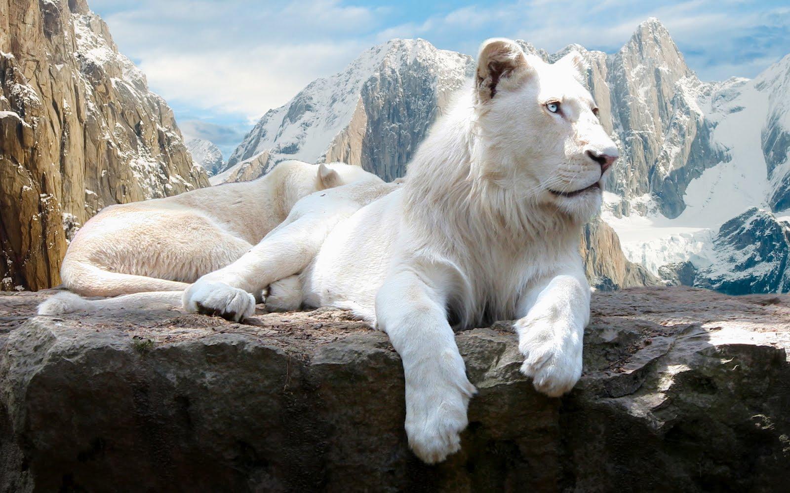 white_lion