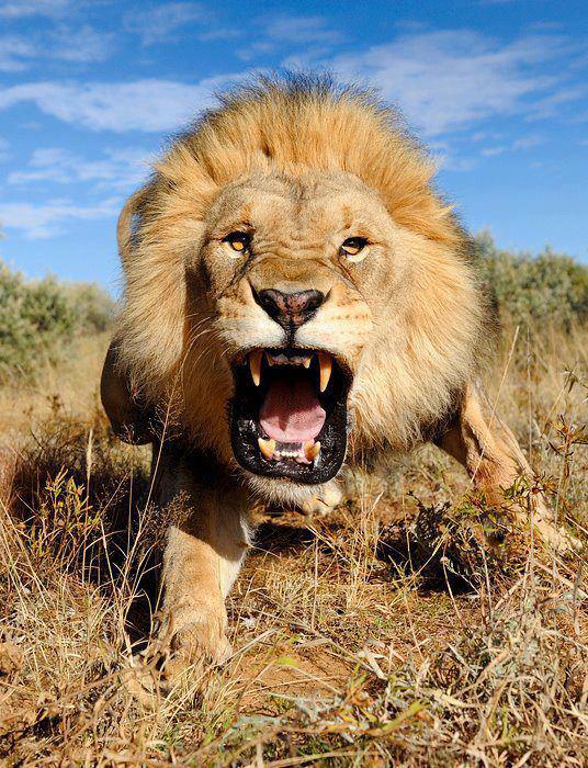 angry_lion_big_teeth