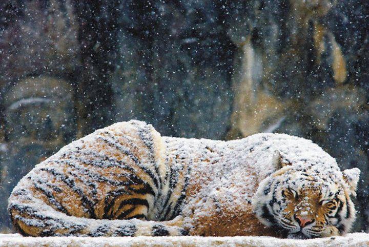 cold_tiger