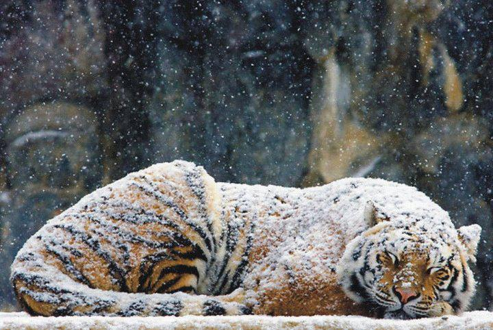 cold_tiger