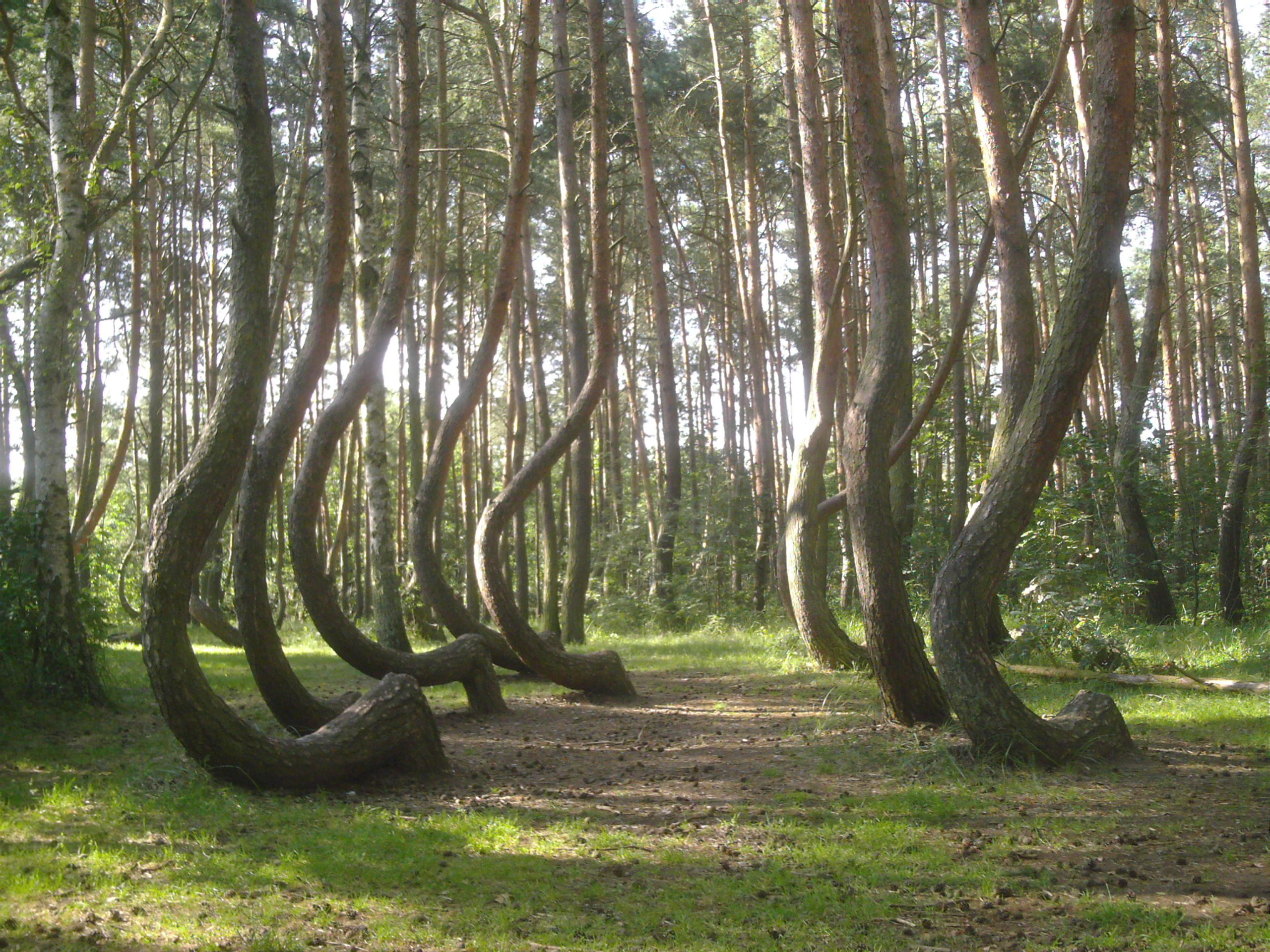 crooked_trees_poland