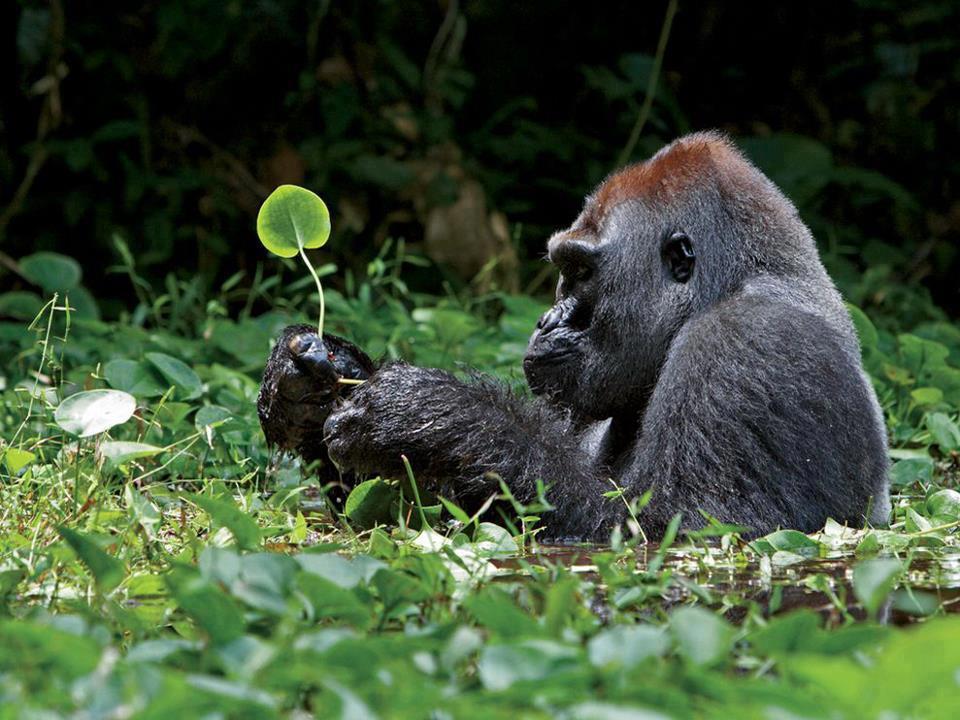 silverback_gorilla