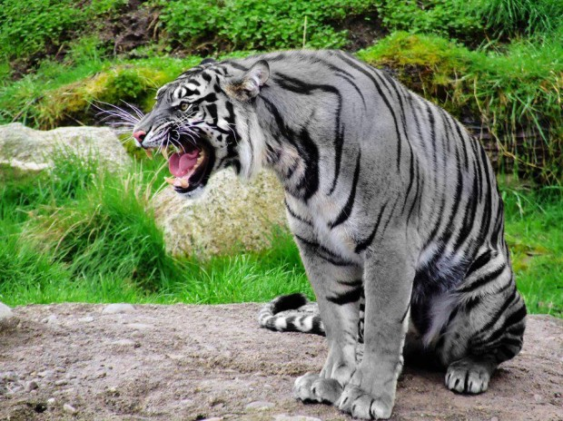 white_tiger_fangs
