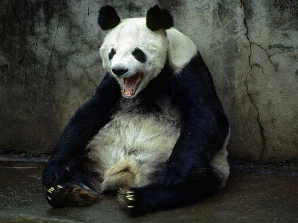 angry_panda