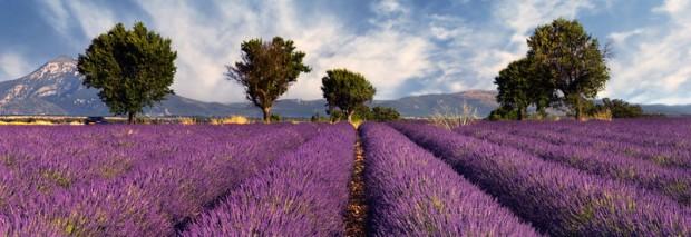 lavender_fields_2