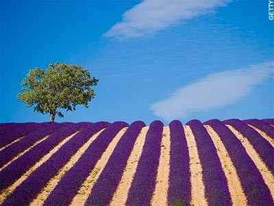 lavender_fields_3
