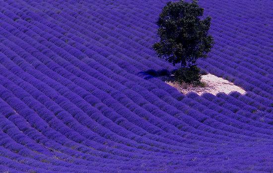lavender_fields_4