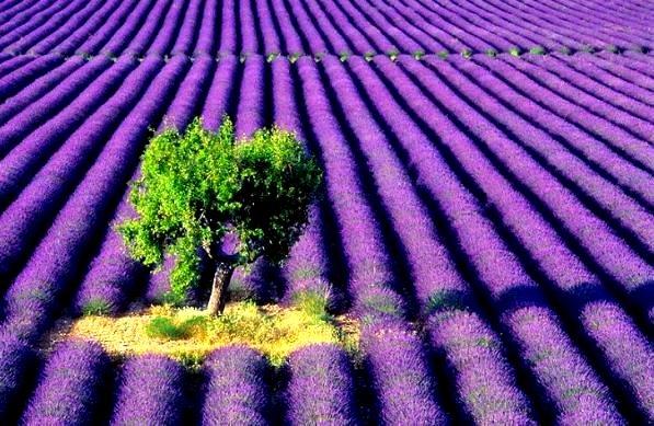 lavender_fields_5