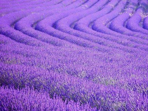 lavender_fields_6