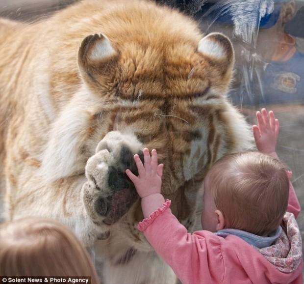 tiger_girl_1