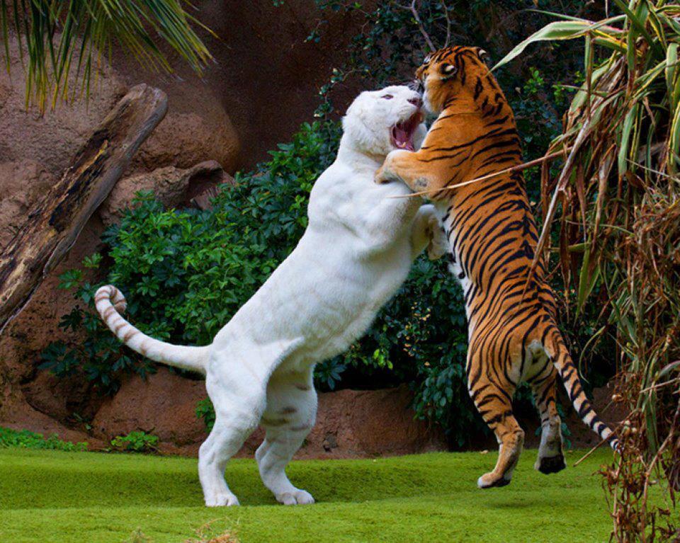 Ligers Vs Lion