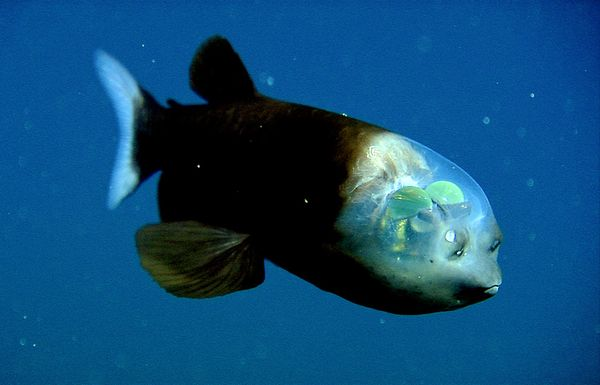 transparent_headed_fish_1