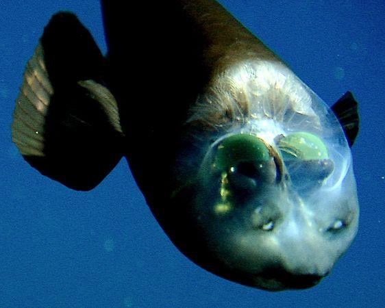 transparent_headed_fish_2