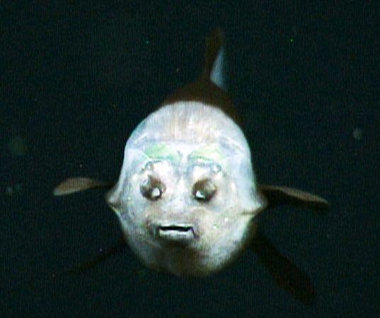 transparent_headed_fish_3