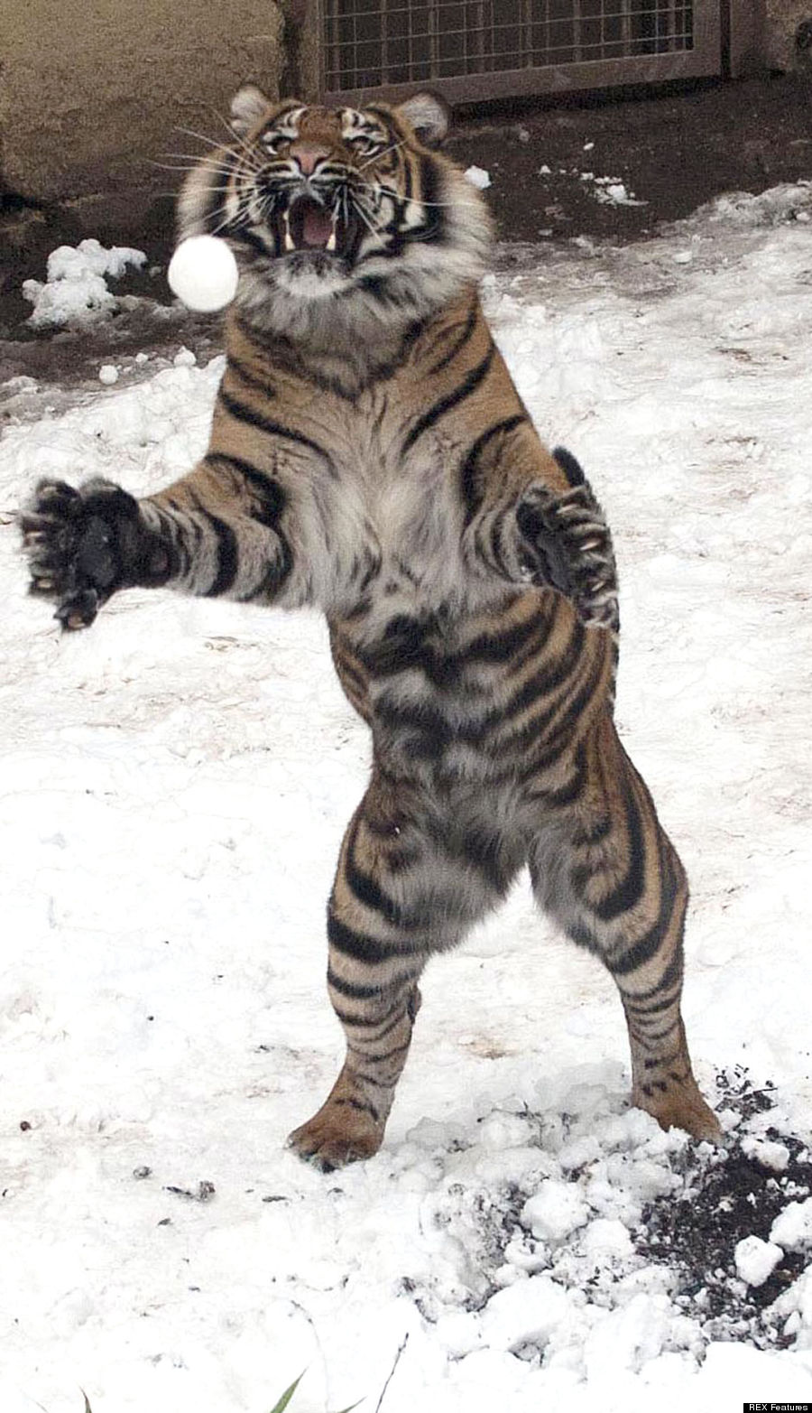 Sumatran tiger at Dudley Zoological Gardens catching a snowball, Dudley, West Midlands, Britain - 22 Jan 2013