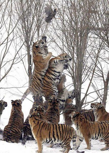 many_tigers
