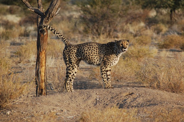 normal_cheetah