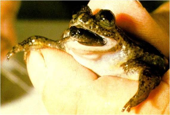 egg_eating_frog