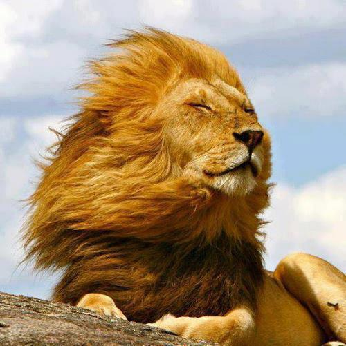 fresh_air_lion
