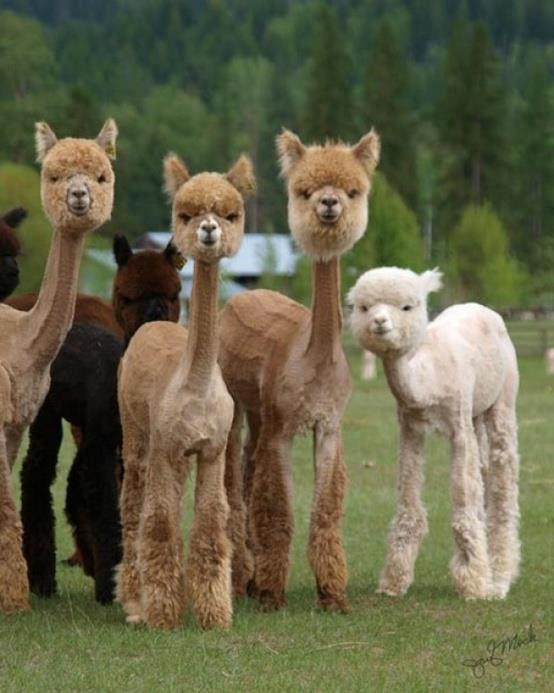 hairless_alpaca