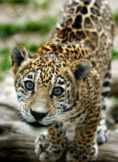 jaguar_puppy_dog_eyes