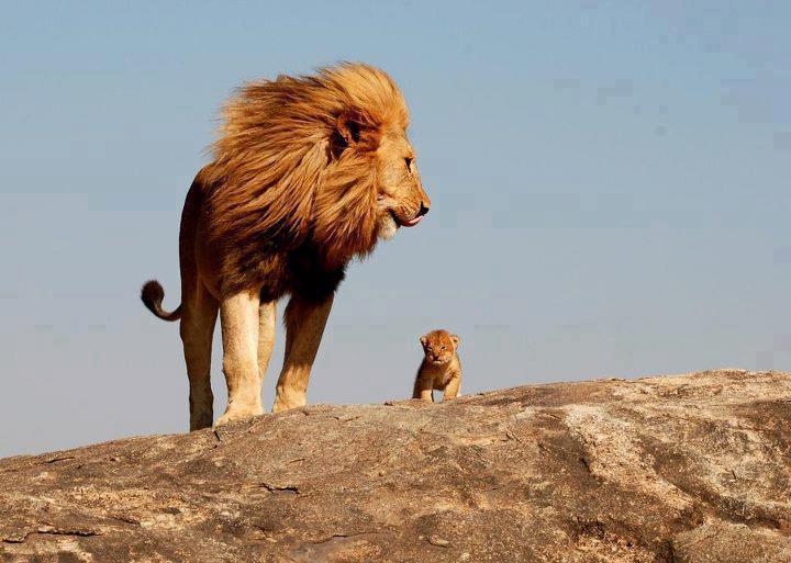 lion_and_lion_cub