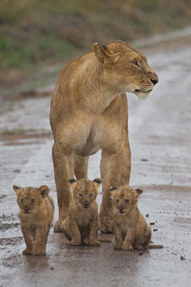 lion_cubs