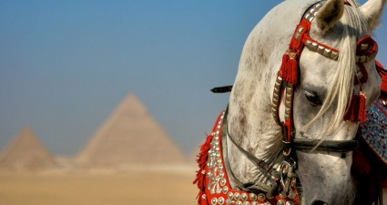 arabian_stallion_giza