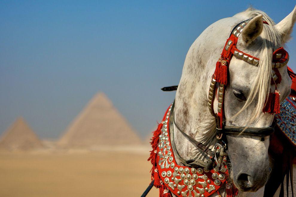 arabian_stallion_giza