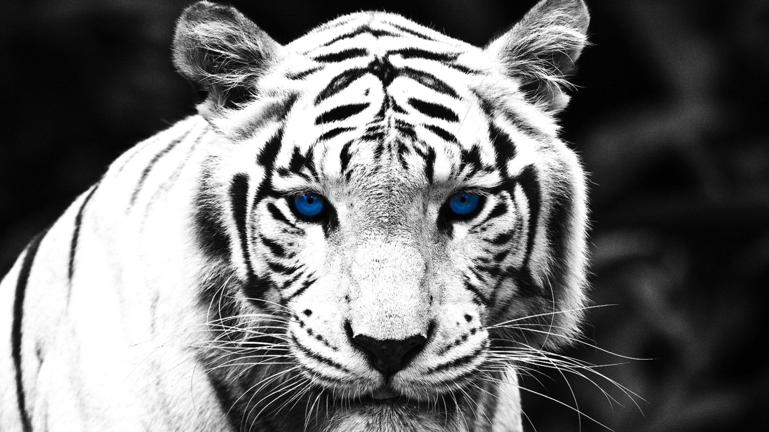 blue-eyed-white-tiger