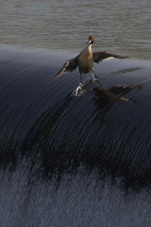 surfing_bird
