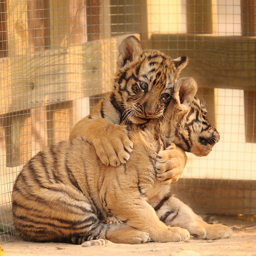 tiger_cub_brothers