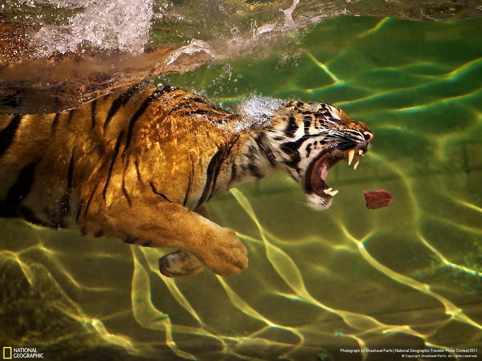 tiger_swimming_1600x1200