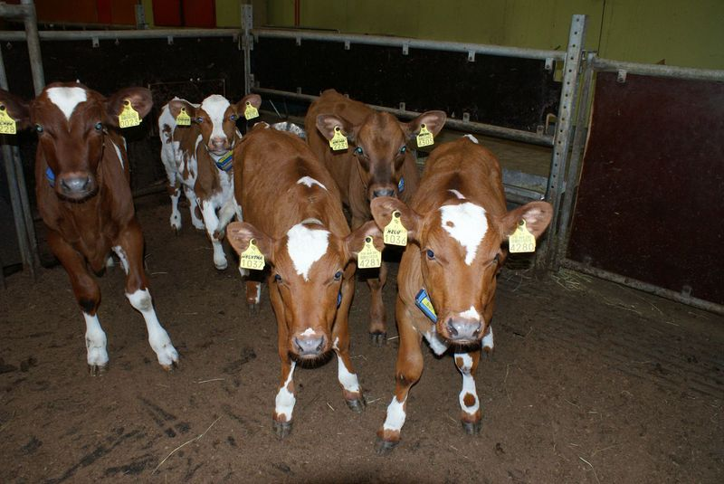 Bovines from burp research