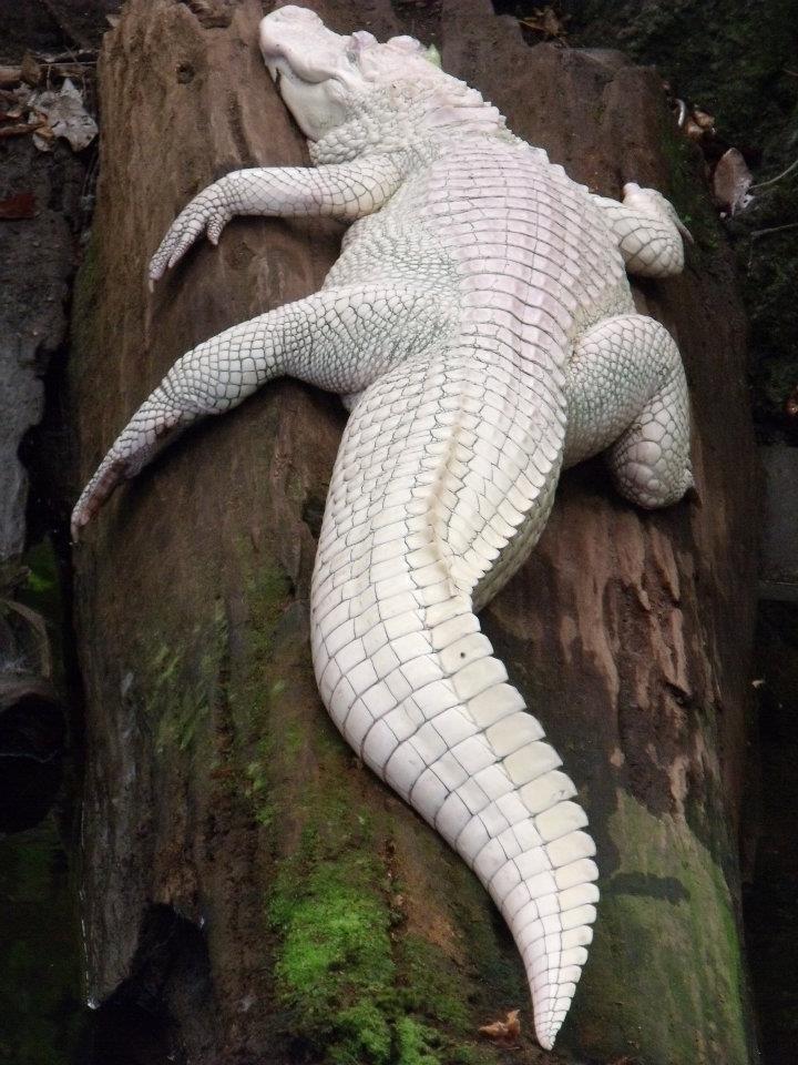 albino_crocodile