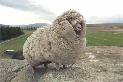 fat_sheep