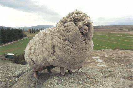 fat_sheep