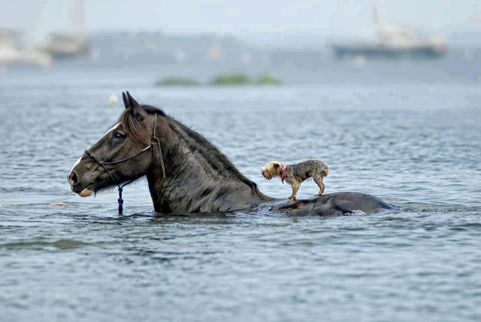 horse_dog_swimming