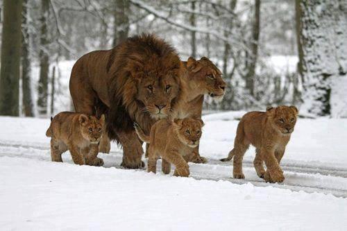 lion_family