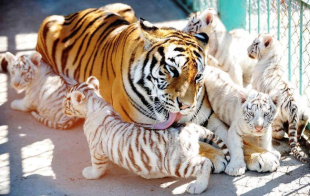 tiger_mom_and_cabs