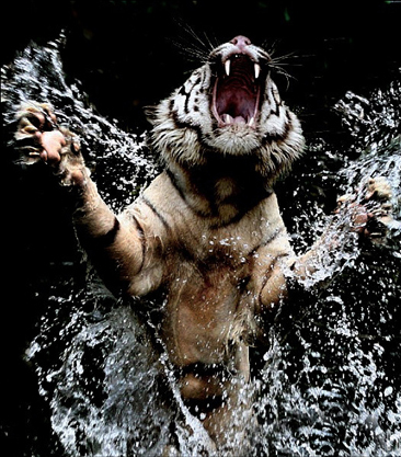 white_tiger_3